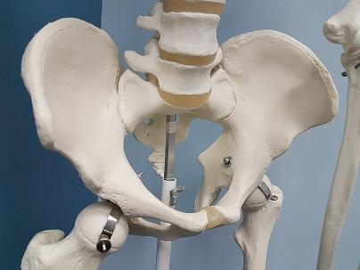 Na zdjęciu przedstawiony jest model anatomiczny układu miednicy. Rehabilitacja naurologiczna śląsk powinna oprócz struktur neurologicznych uwzględnić badanie kostne i stawowe, aby wykluczyć ból o innym podłożu.